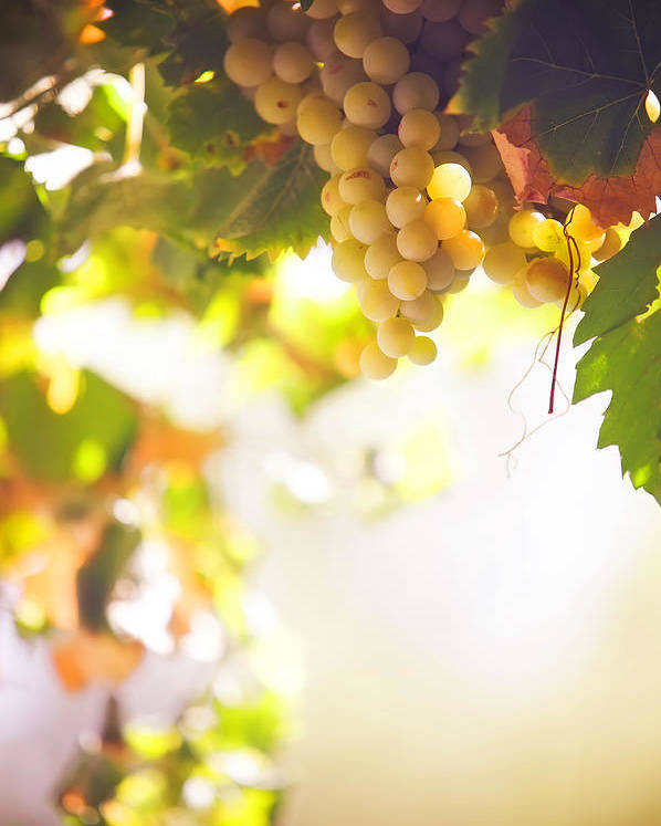 Grape Poster featuring the photograph Harvest Time. Sunny Grapes I by Jenny Rainbow
