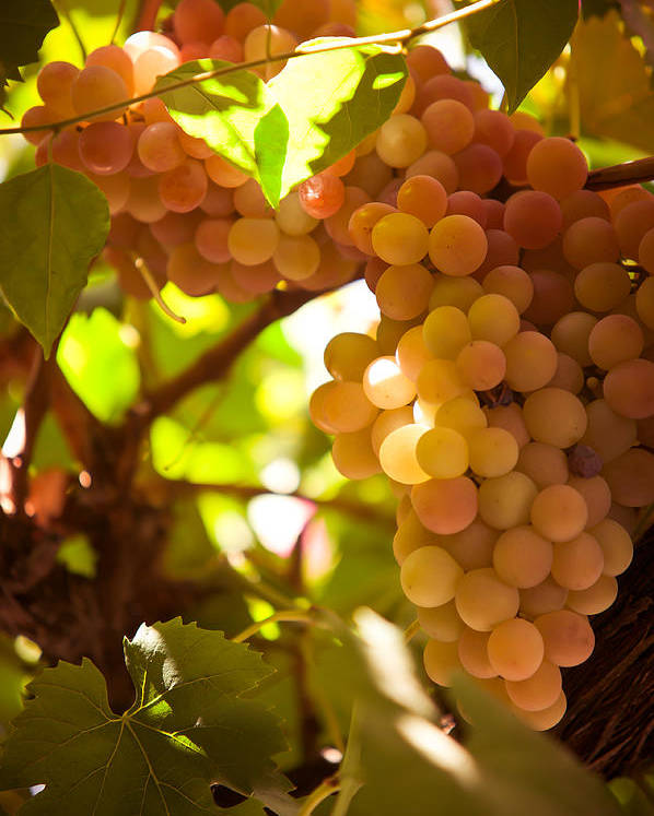 Grape Poster featuring the photograph Harvest Time. Sunny Grapes IIi by Jenny Rainbow