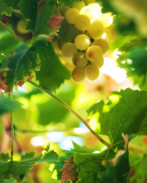 Grape Poster featuring the photograph Harvest Time. Sunny Grapes Vii by Jenny Rainbow
