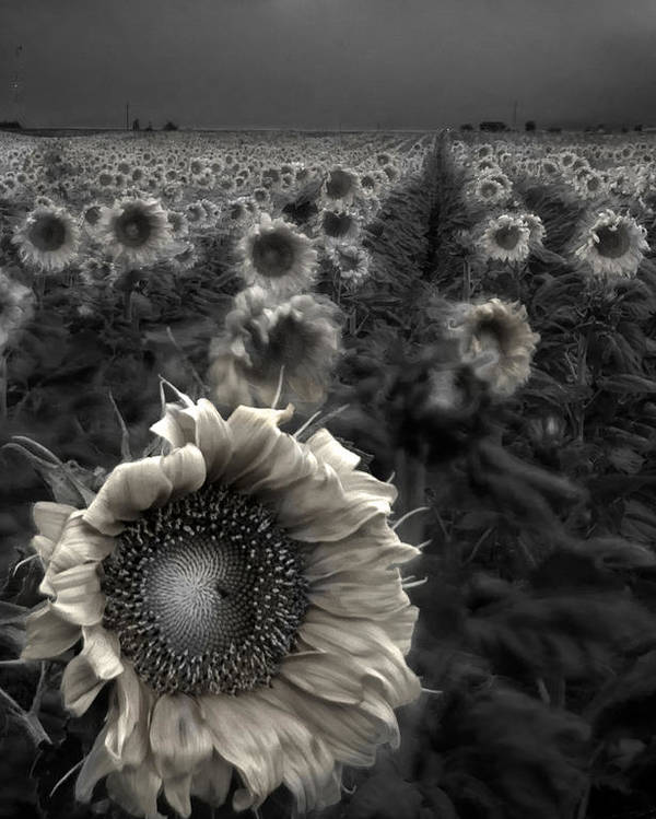 Featured Art Poster featuring the photograph Haunting Sunflower Fields 1 by Dave Dilli