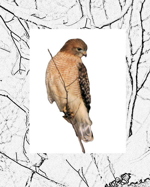 Hawk Poster featuring the photograph Hawk Framed In Branch Outline by Crystal Heitzman Renskers