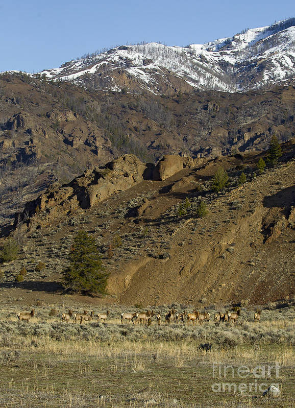 Elk Poster featuring the photograph Herd Of Elk  #7740 by J L Woody Wooden