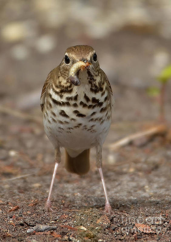 Thrush Poster featuring the photograph Hermit Thrush And The Grub by Kathy Baccari