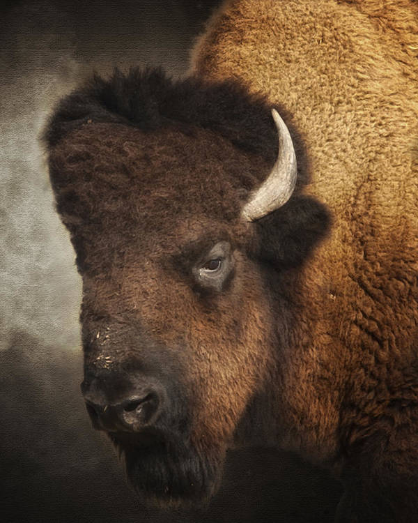 Buffalo Poster featuring the photograph His Majesty by Ron McGinnis