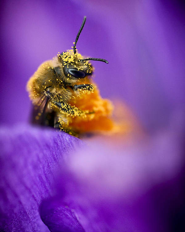 3scape Poster featuring the photograph Honeybee Pollinating Crocus Flower by Adam Romanowicz
