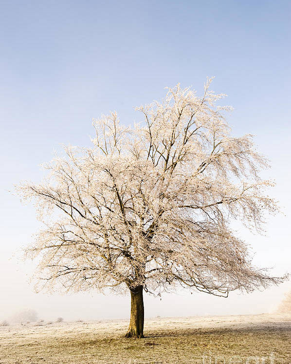 Bare Poster featuring the photograph Iced Tree by Anne Gilbert