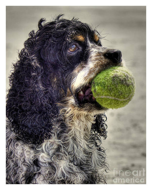 Cocker Spaniel Poster featuring the photograph I'm Ready To Play by Benanne Stiens