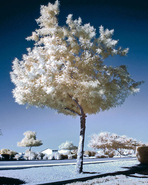 Infrared Poster featuring the photograph Infrared Tree by Jim Painter