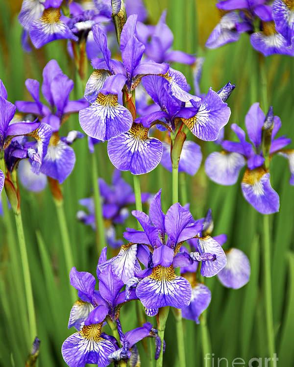 Iris Poster featuring the photograph Irises by Elena Elisseeva
