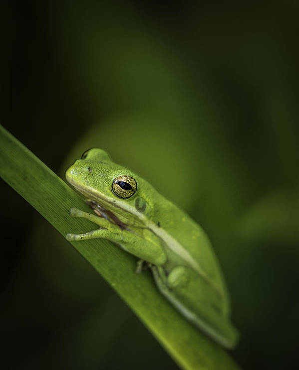 Frogs Poster featuring the photograph It Ain't Easy Being Green by J Arthur Conway