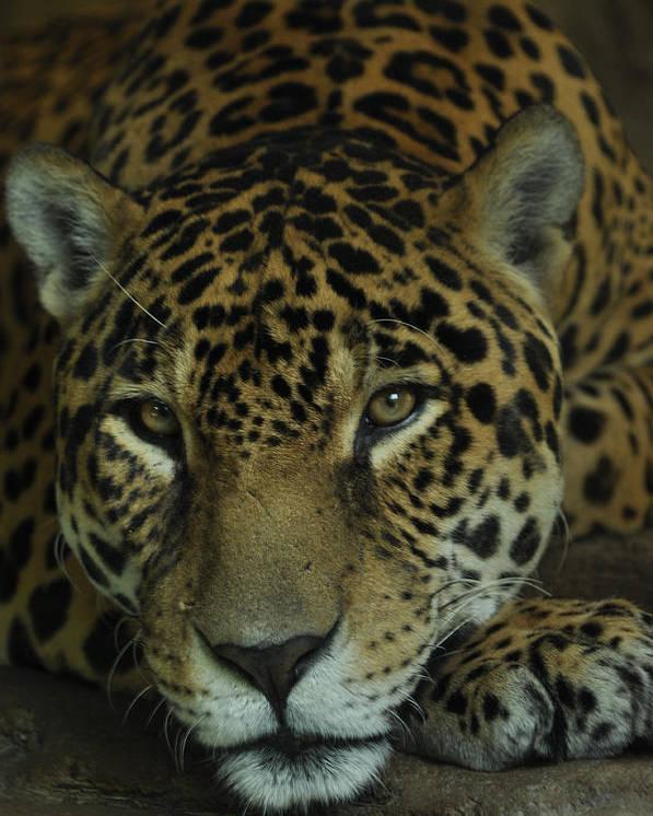 Jaguar Poster featuring the photograph Jaguar by Becky Woodworth