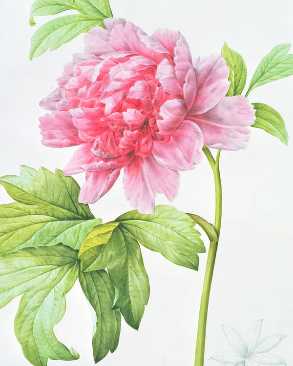 Still-life Poster featuring the painting Japanese Tree Peony by Pierre Joseph Redoute