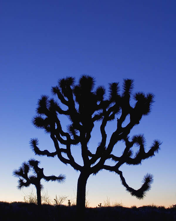 America Poster featuring the photograph Joshua Tree National Park by David Davis