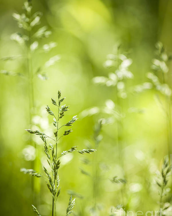 Green Poster featuring the photograph June Green Grass Flowering by Elena Elisseeva