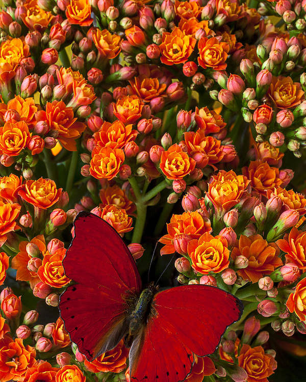 Kalanchoe Plant Poster featuring the photograph Kalanchoe Plant With Butterfly by Garry Gay