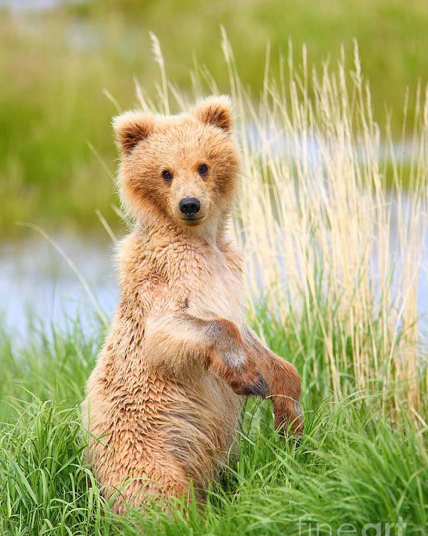 Bear Poster featuring the photograph Katmai Cub by Bill Singleton