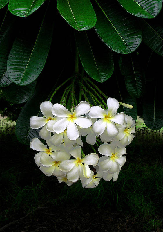Hawaii Iphone Cases Poster featuring the photograph Kawela Plumeria by James Temple