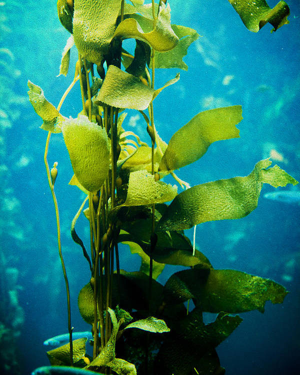Kelp Poster featuring the photograph Kelp Two by SFPhotoStore