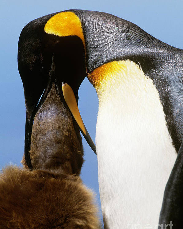 King Penguin Poster featuring the photograph King Penguin Feeding Chick by Art Wolfe