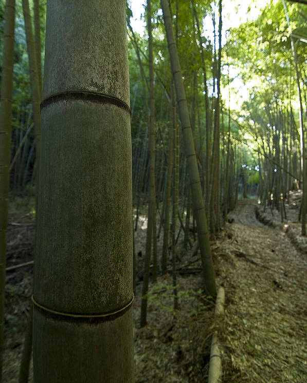 Bamboo Poster featuring the photograph Kissing Bamboo by Aaron Bedell