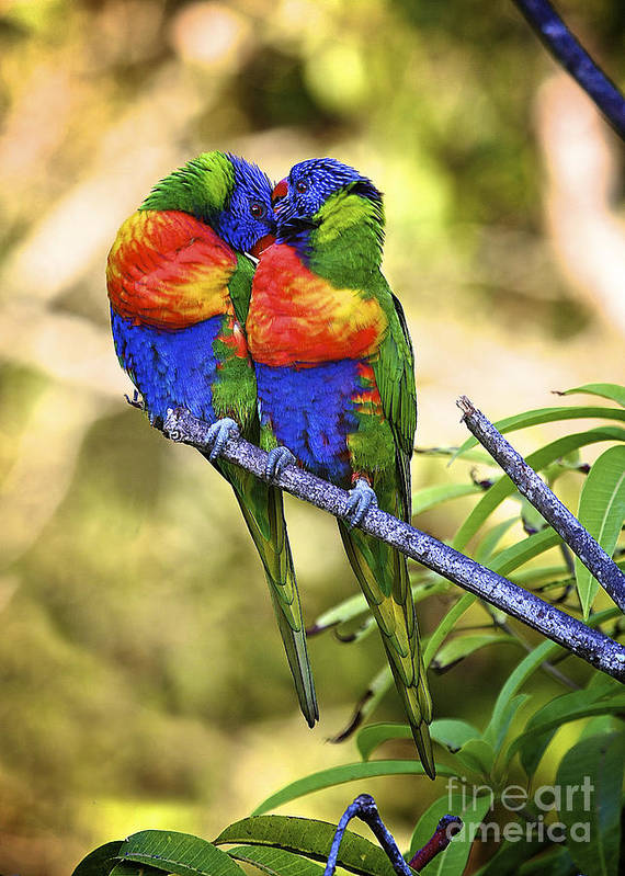 Rainbow Lorikeet Poster featuring the photograph Kissing Rainbow Lorikeets 8 by Heng Tan