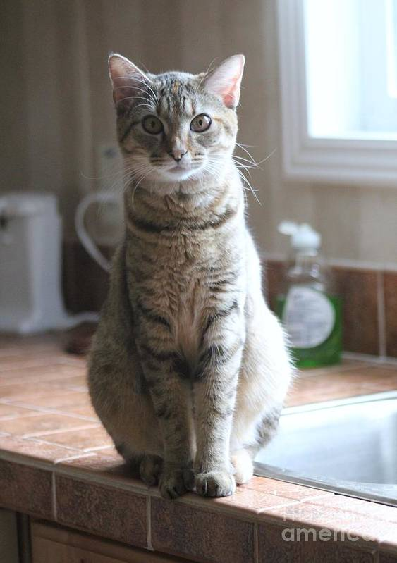 Cat Poster featuring the photograph Kitchen Cat by Michelle Powell