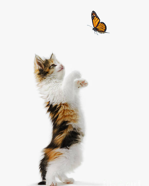 Active Poster featuring the photograph Kitten And Monarch Butterfly by Wave Royalty Free