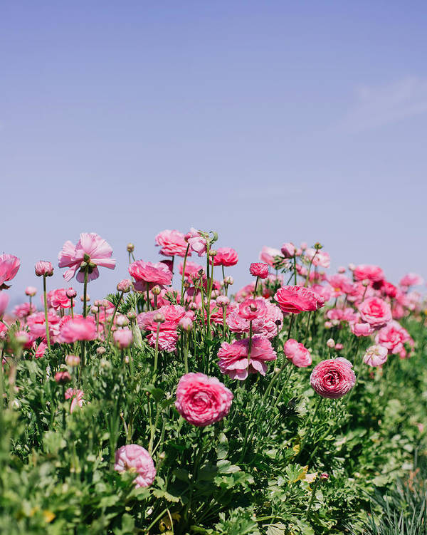 Flower Poster featuring the photograph La vie en rose by Nastasia Cook
