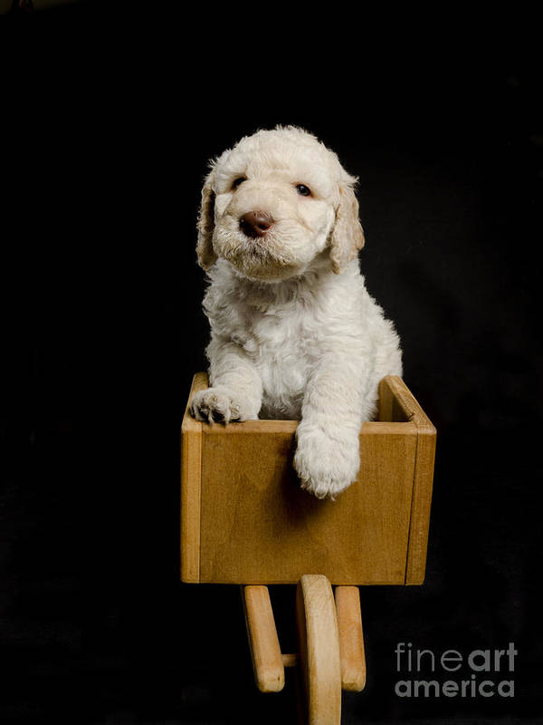 Animal Poster featuring the photograph Labradoodle In A Wheelbarrow by Gord Horne