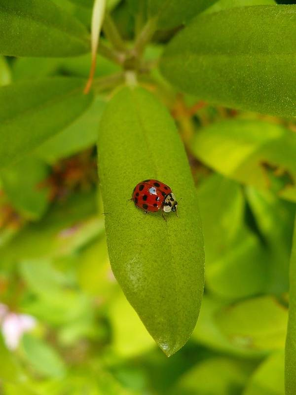 Lady Poster featuring the photograph Lady Bug Leaf by Nicki Bennett