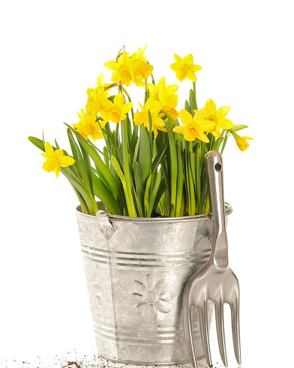 Spring Poster featuring the photograph Large Bucket Of Daffodils by Amanda Elwell