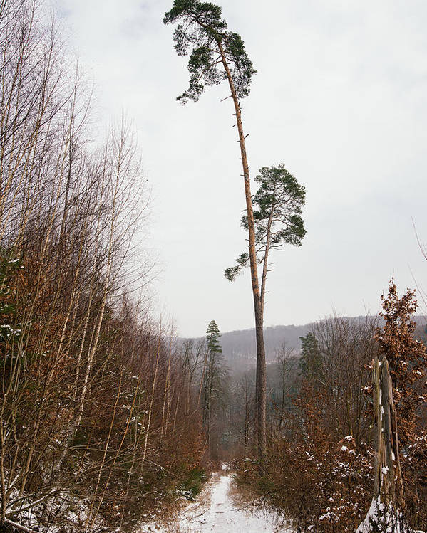 Winter Poster featuring the photograph Large Trees In The Nature Park In Winter by Matthias Hauser