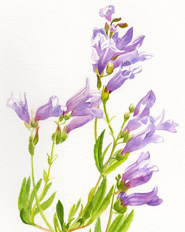 Penstemon Poster featuring the painting Lavender Penstemon Wildflowers by Sharon Freeman