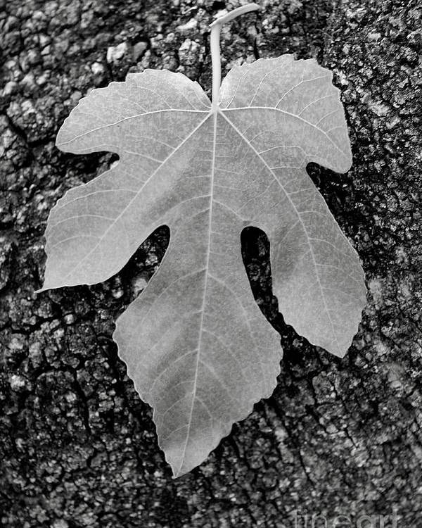 Leaf Poster featuring the photograph Leaf On Bark by Andrew Brooks