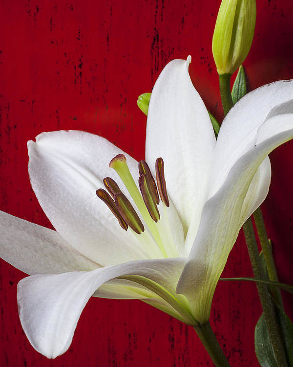 White Lily Poster featuring the photograph Lily Against Red Wall by Garry Gay