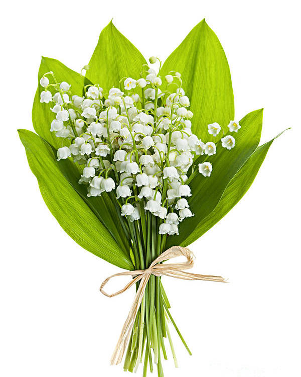 Flower Poster featuring the photograph Lily-of-the-valley Bouquet by Elena Elisseeva