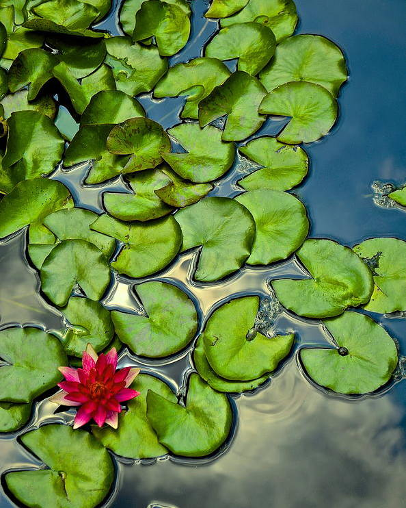 Water Lilies Poster featuring the photograph Pacman Lily by Thomas Camp