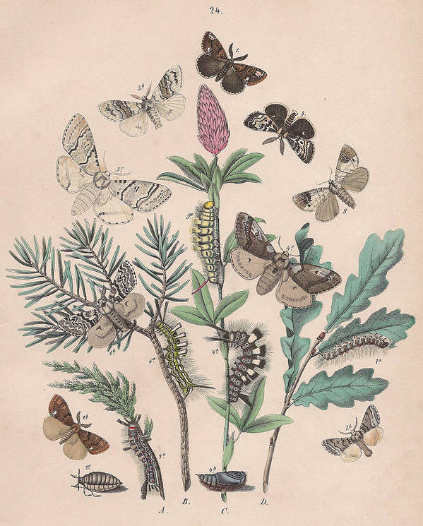 Butterfly Poster featuring the drawing Liparidae - Notodonitdae by W Kirby
