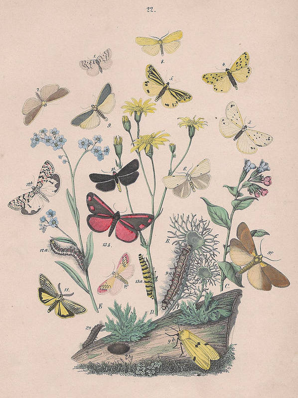 Butterfly Poster featuring the drawing Lithosidae - Arctiidae by W Kirby