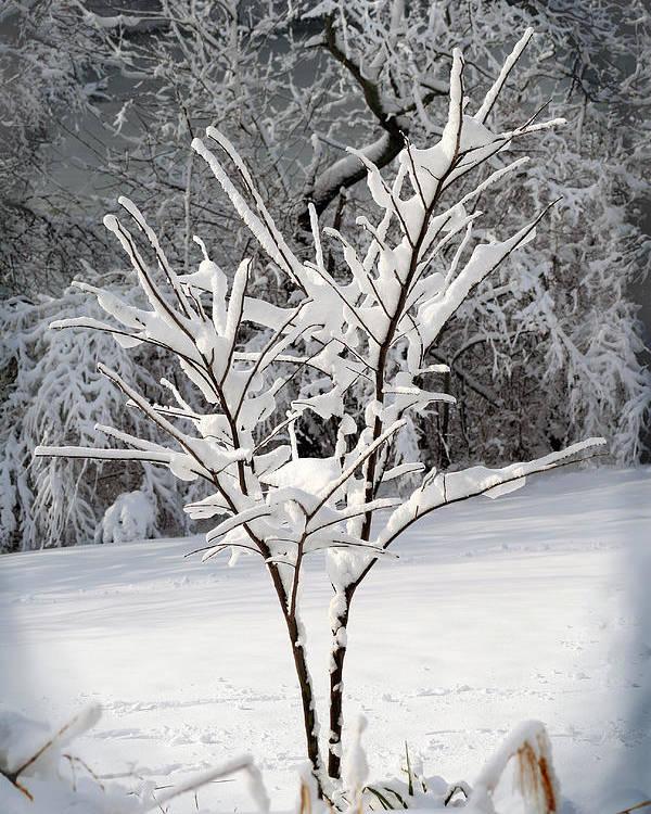 Little Poster featuring the photograph Little Snow Tree by Karen Adams