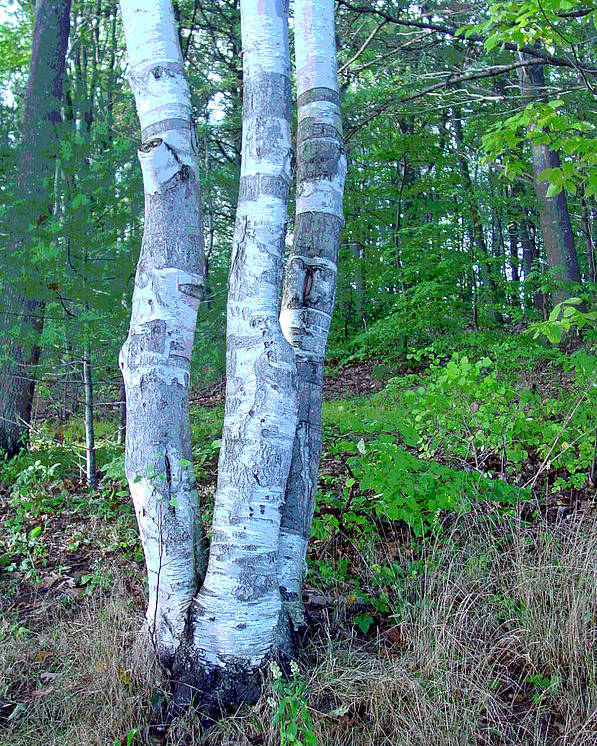 Birch Tree Poster featuring the photograph Lone Birch In The Maine Woods by Suzanne Gaff