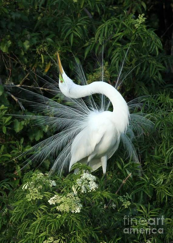 Great White Egret Poster featuring the photograph Look At Me by Sabrina L Ryan