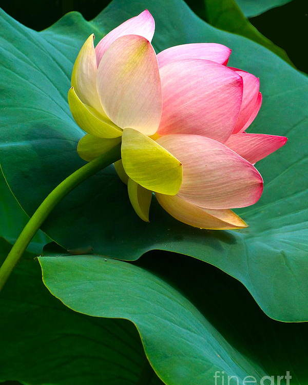 Lotus Blossom And Leaves Poster featuring the photograph Lotus Blossom And Leaves by Byron Varvarigos