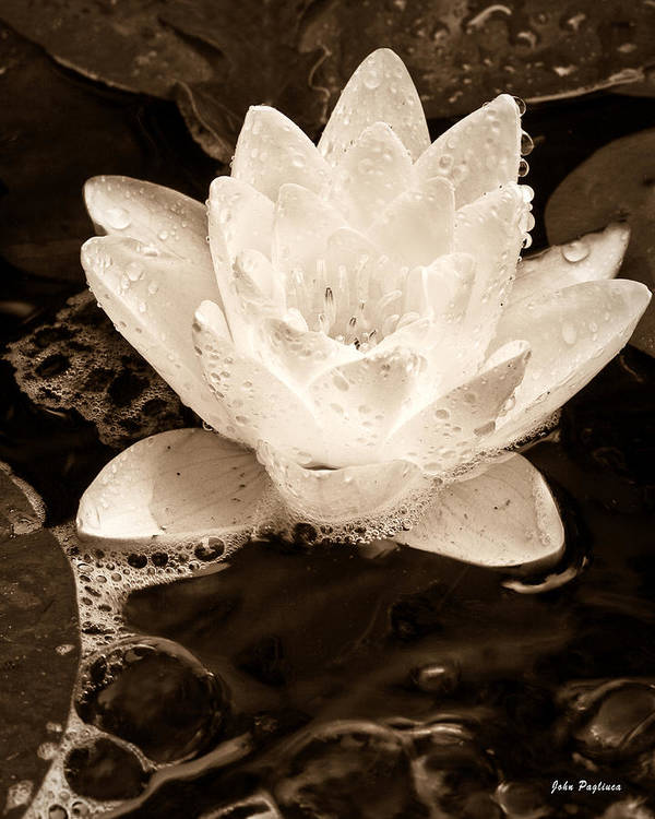 Aquatic Poster featuring the photograph Lotus Blossom by John Pagliuca