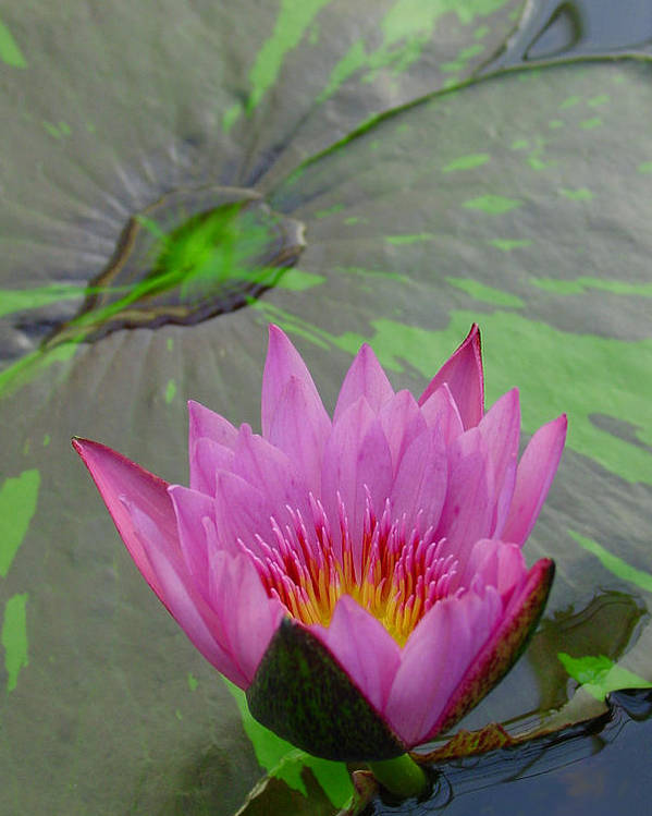 Lotus Poster featuring the photograph Lotus Blossom by Suzanne Gaff