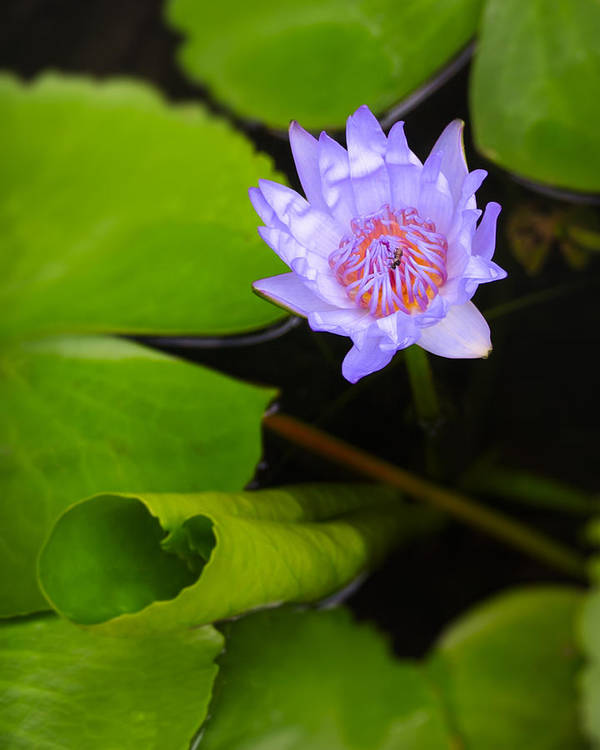 3scape Photos Poster featuring the photograph Lotus Flower And Lily Pad by Adam Romanowicz