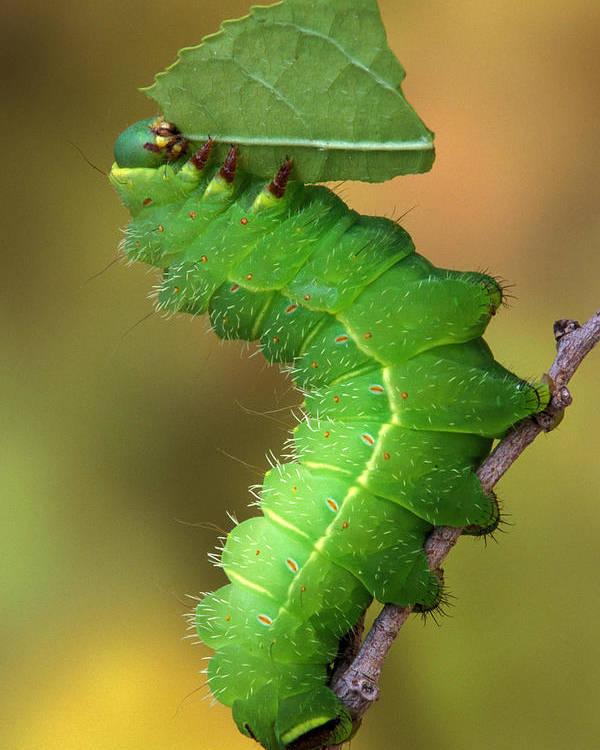 Luna Poster featuring the photograph Luna Moth Caterpillar Eating by Robert Jensen