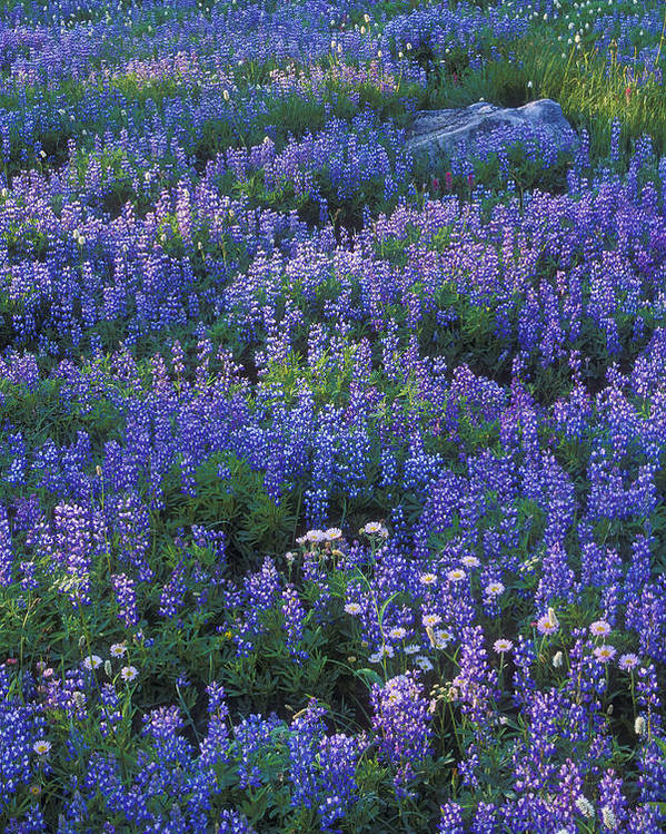 Lupine Poster featuring the photograph Lupine And Aster by Greg Vaughn