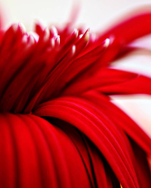 Luscious Red Flower Poster featuring the photograph Luscious Red Flower by Charrie Shockey