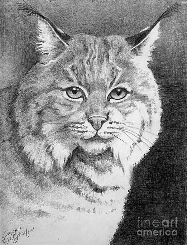 Lynx Poster featuring the drawing Lynx by Suzanne Schaefer